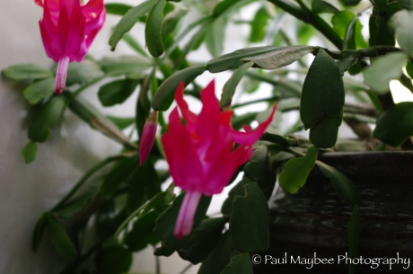 Christmas Cactus - Paul Maybee