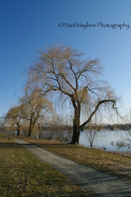 Fredericton - Weeping Willows