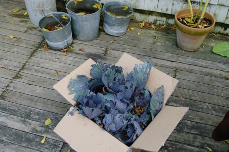 Box of Cabbage