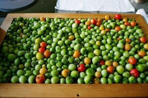 tomato tray... ripening
